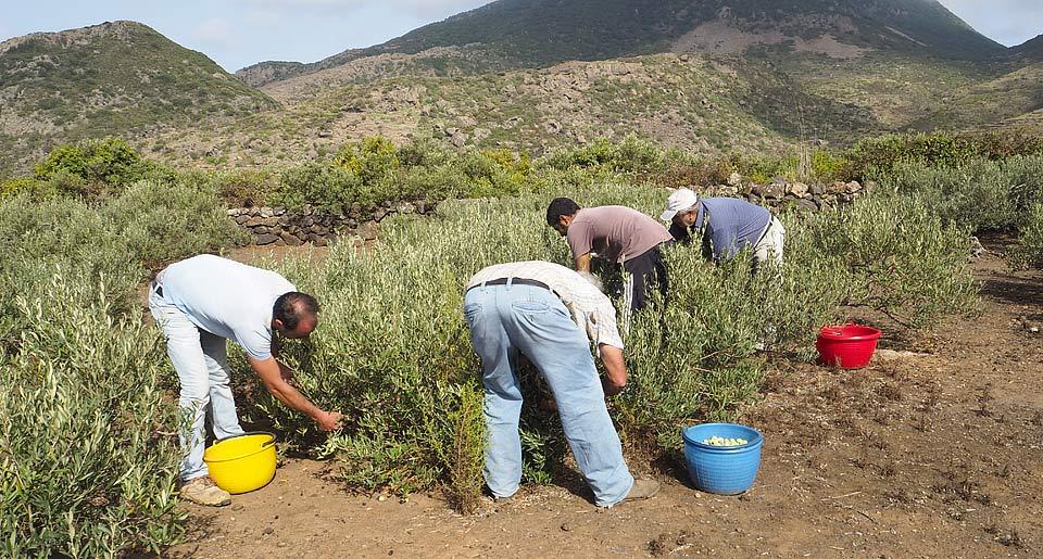 pantelleria raccolta olive